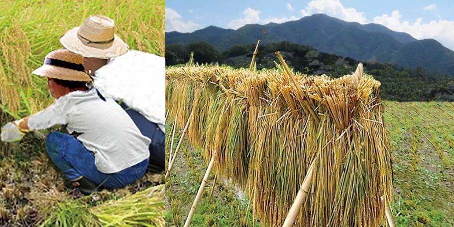 親子、稲刈り農業体験
